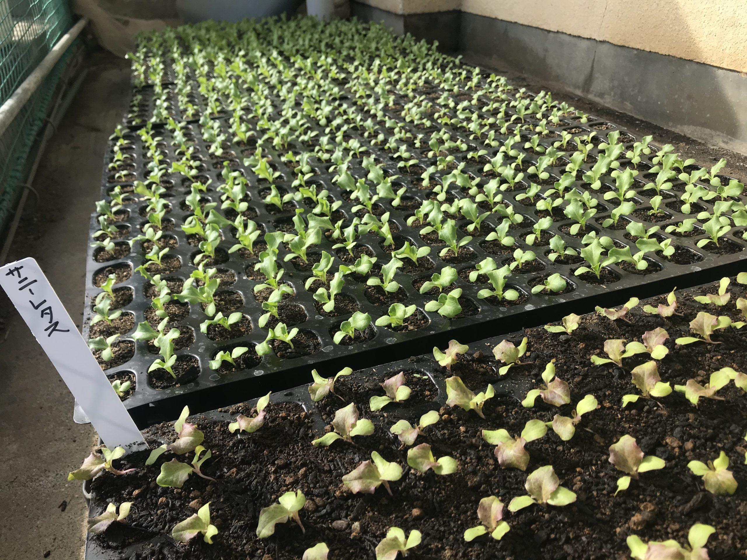 有機リーフレタス栽培開始